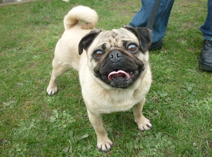Luna Find A Pet Rspca Org Uk Dogs Pugs In Rescue Pets