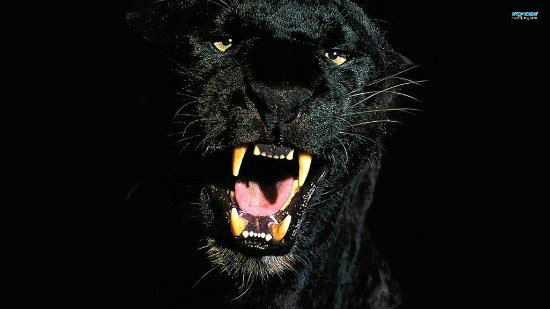 Black Cheetah 4k Wallpaper Black Jaguar Cheetah Wallpaper Black Jaguar Animal
