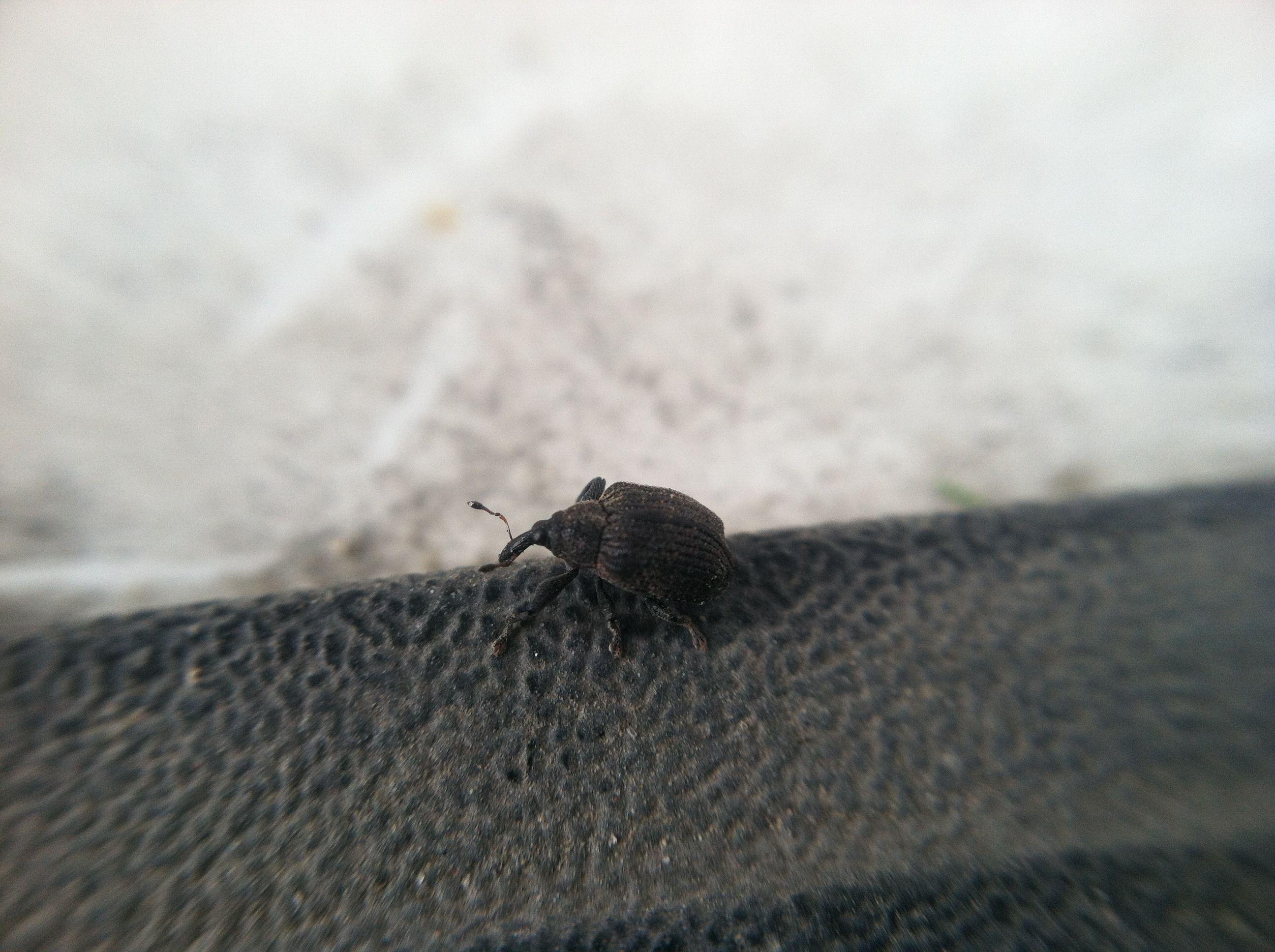 Order Coleoptera Family Curculionidae weevil, herbivore, harmless