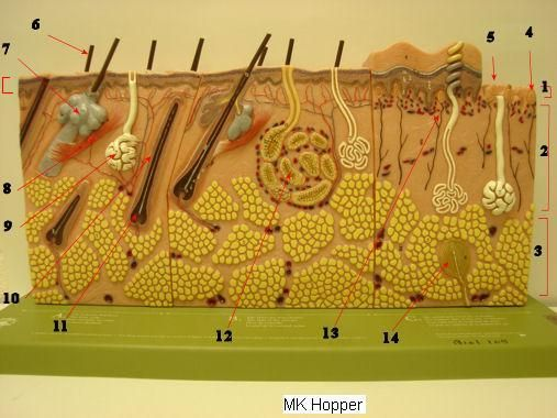 Skin Model - Biology 2401 Anatomy and Physiology I | A&P.2.Skin.Bone ...