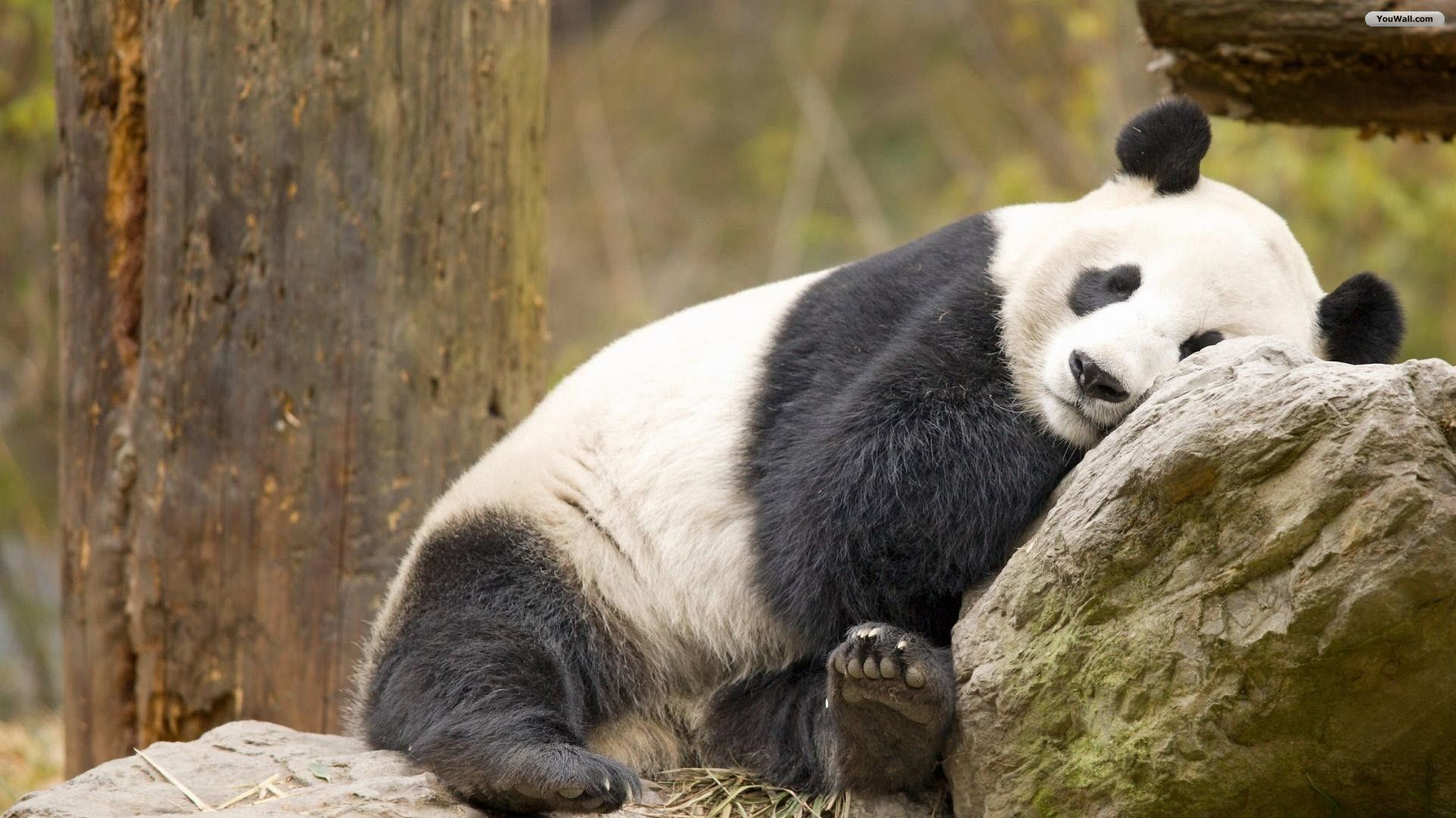 Undefined Panda Wallpaper 40 Wallpapers