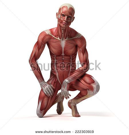 medical 3d illustration of the male muscular system | Art ...