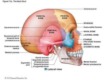 Mastoid Process Posterior Skull View Diagram Block And Schematic