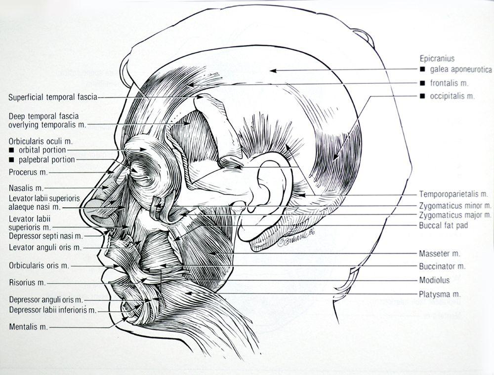 facial-muscles-side-view.jpg (1000×760) | Anatomía Artistas (Cara ...