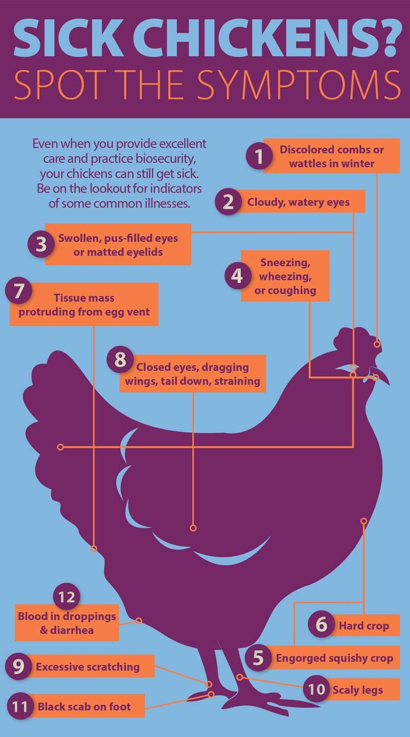 Sick Chx Chickens Pinterest Diagram Of The Wing A Chicken Top View