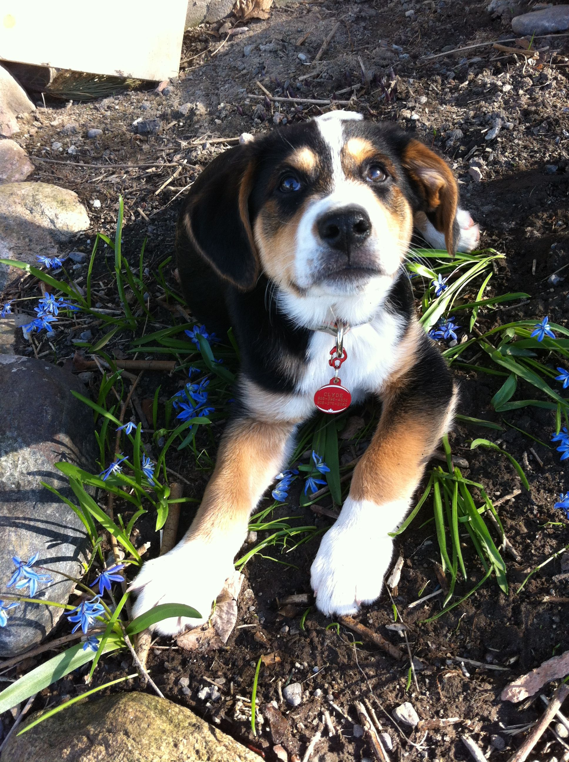 Bernese Mountain Dog And Lab Mix : bernese, mountain, Labernese, Puppy!, Bernese, Mountain, Puppies,, Love,, Puppies