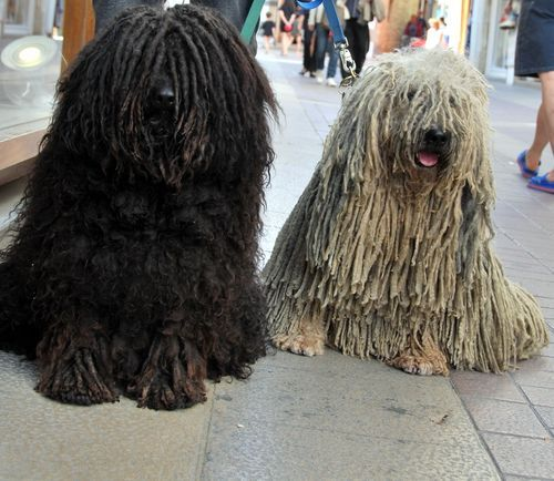 S Amuser Puli Dog Dogs Komondor Dog
