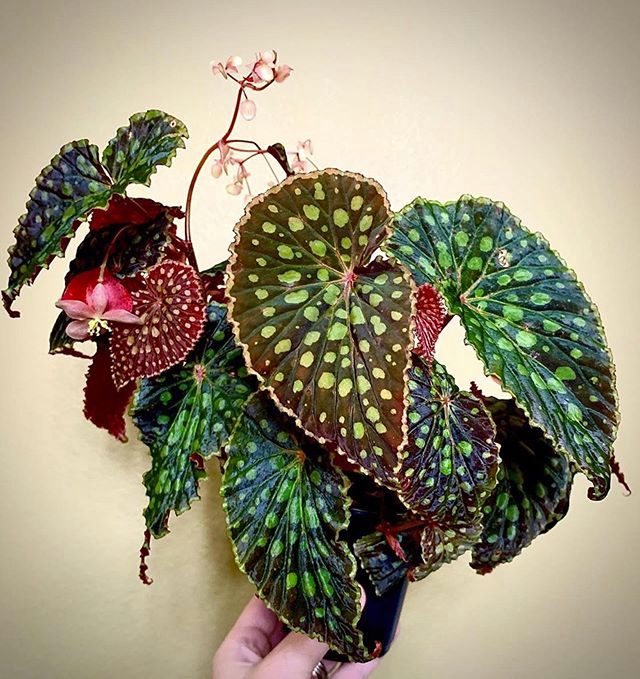 Photo of Begonia Chloristicta 'Red Form' #cactuswithflowers Begonia chloristicta red …