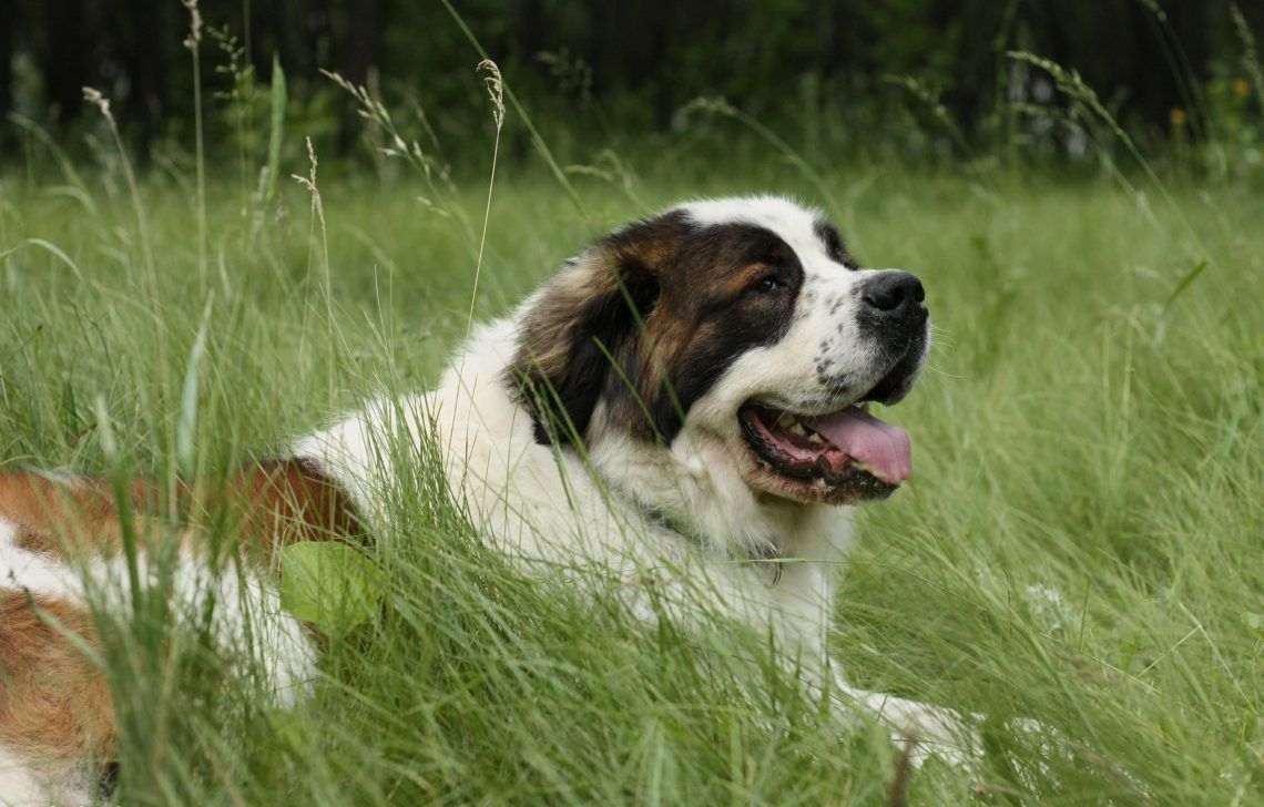 Moscow Watchdog A Friendly Giant Animalsbay Dog Breeds Huge