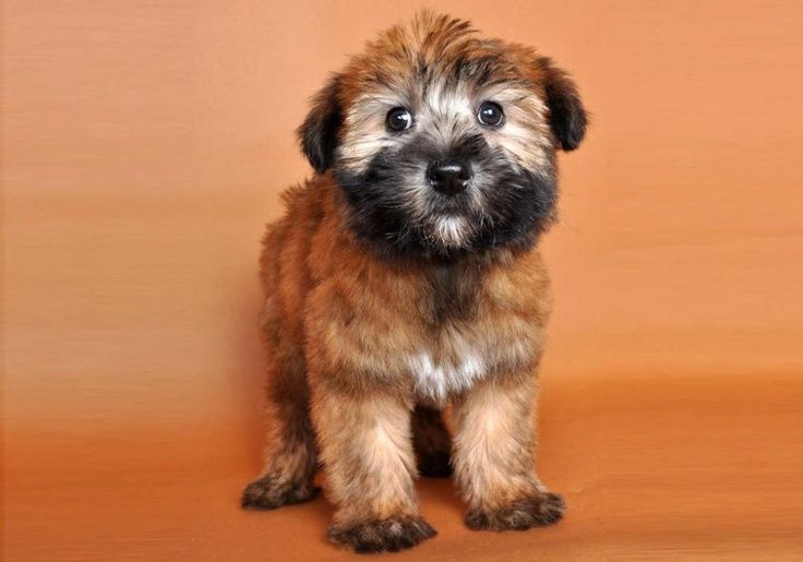 Mini Wheaten Terrier Wheaten Terriers Ireland Wheaten Terrier Puppy Terrier Puppies