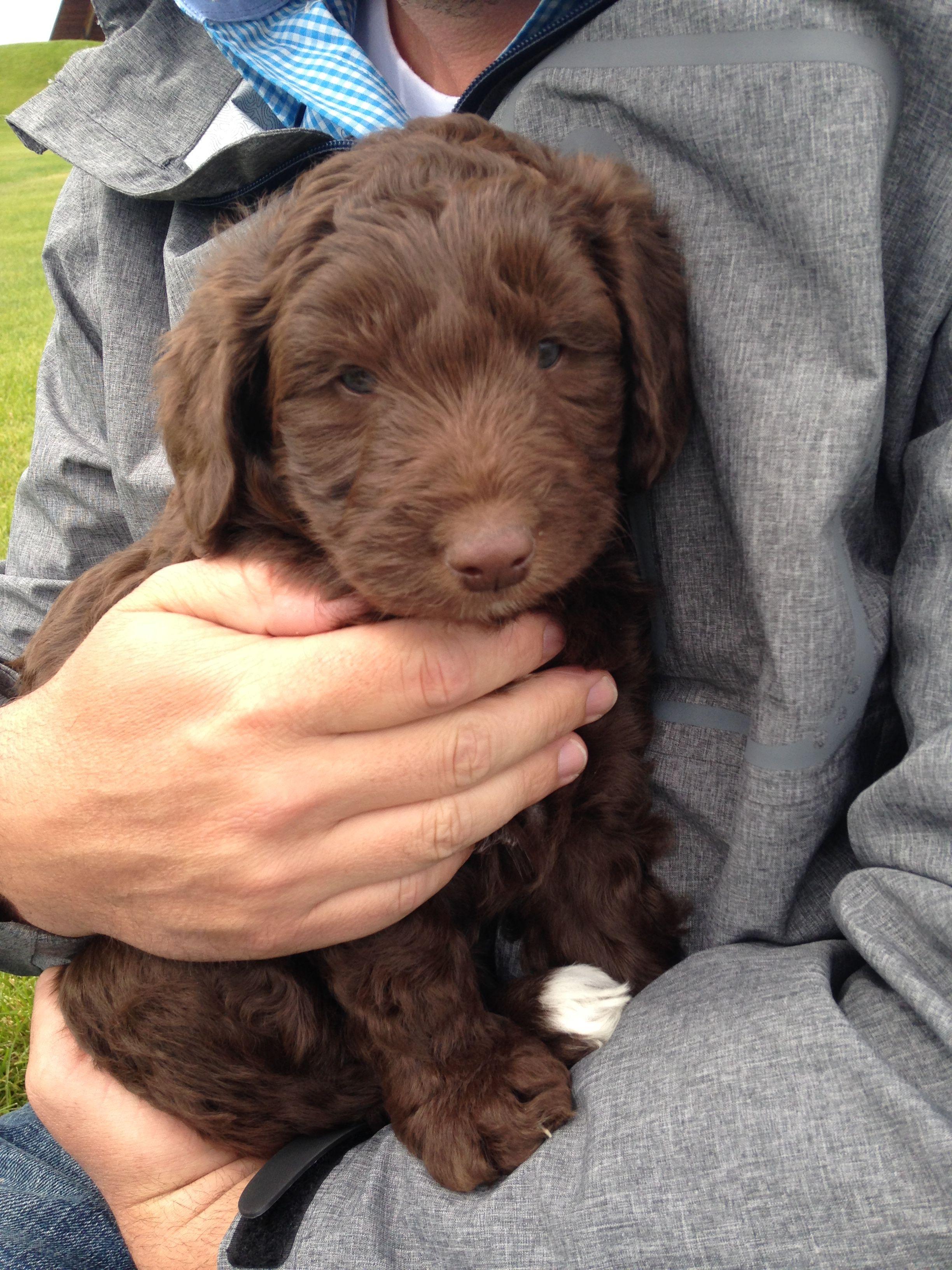Chocolate Bordoodle Bordoodle Labrador Retriever Pet Dogs