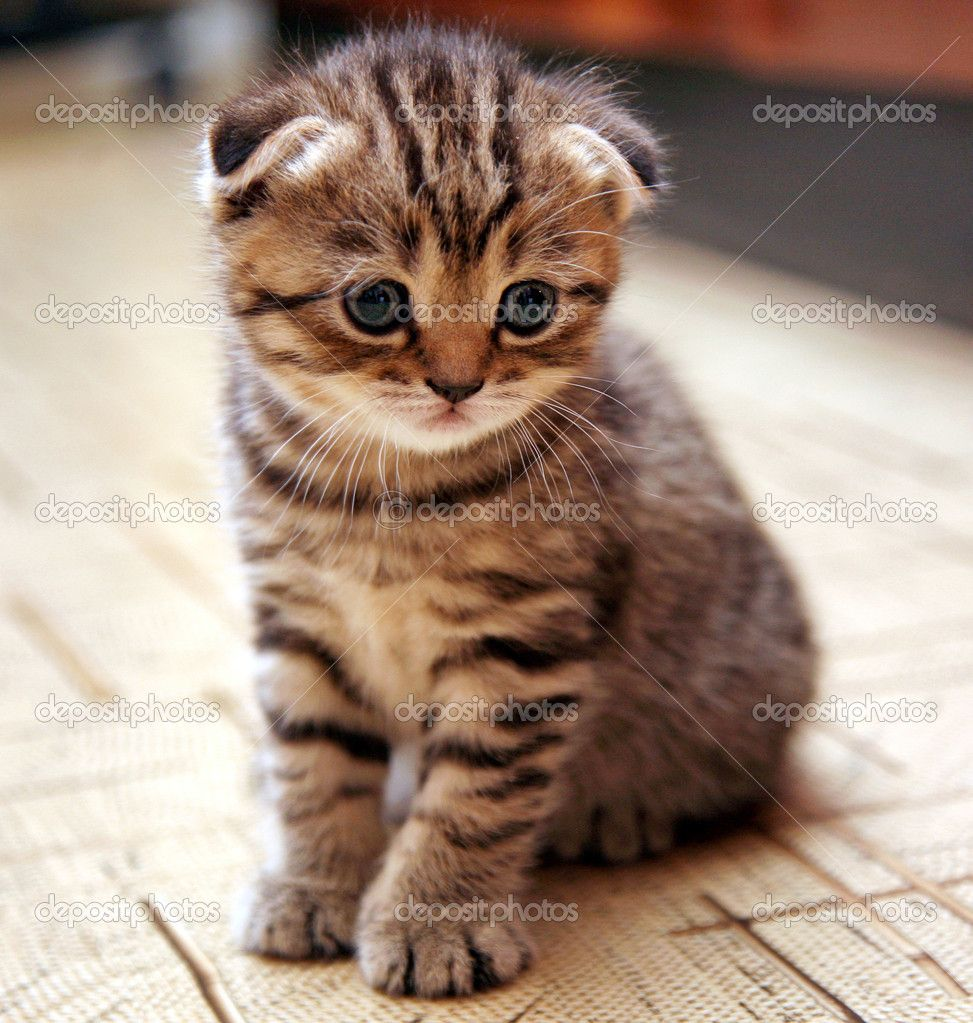 scottish fold kitten, this is what I want for Christmas. | kitties ...