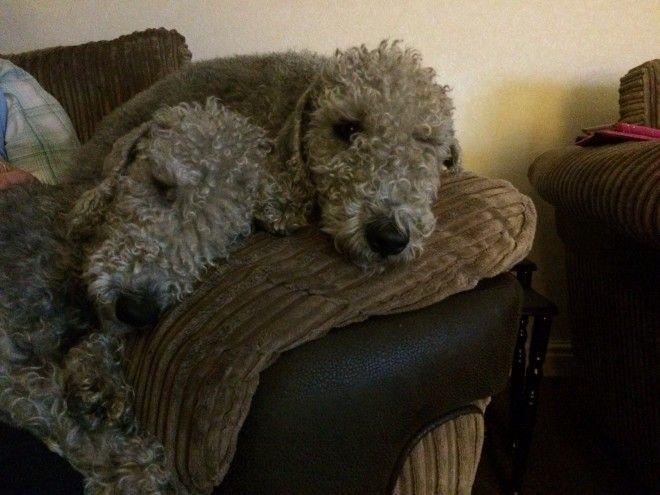 Bedlington Terrier Puppy Bedlington Whippet Pitbull Terrier