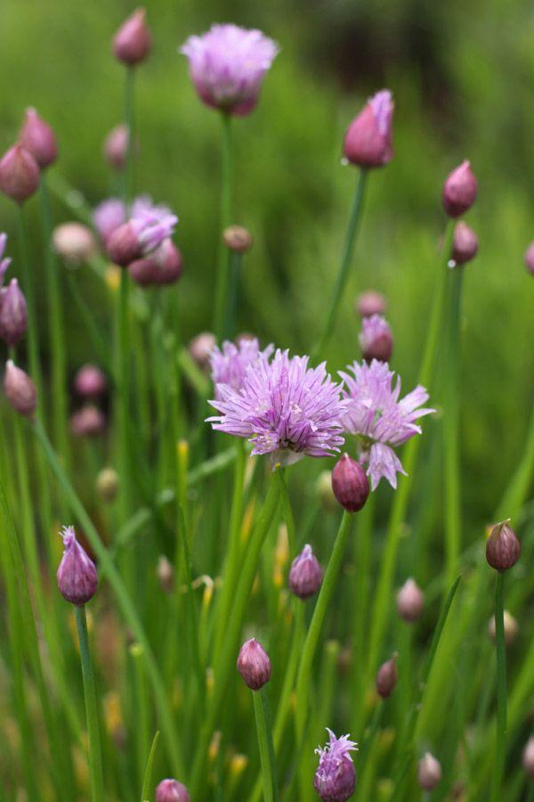 Chive Flowers Blumen Pflanzen Blumenbeete Krautergarten
