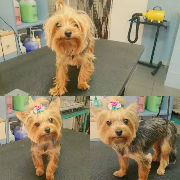 How Often A Yorkie Should Be Groomed Yorkiehairstyles German