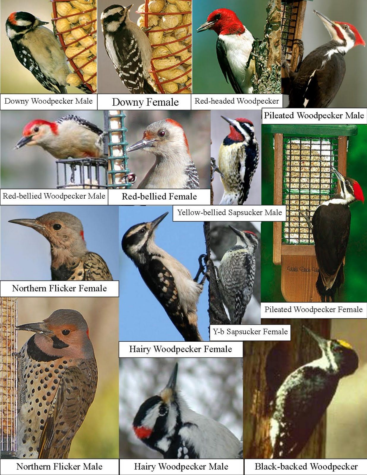 Wild Birds Unlimited How Many Woodpeckers Are In Michigan Wild Birds Unlimited Backyard Birds Watching Backyard Birds