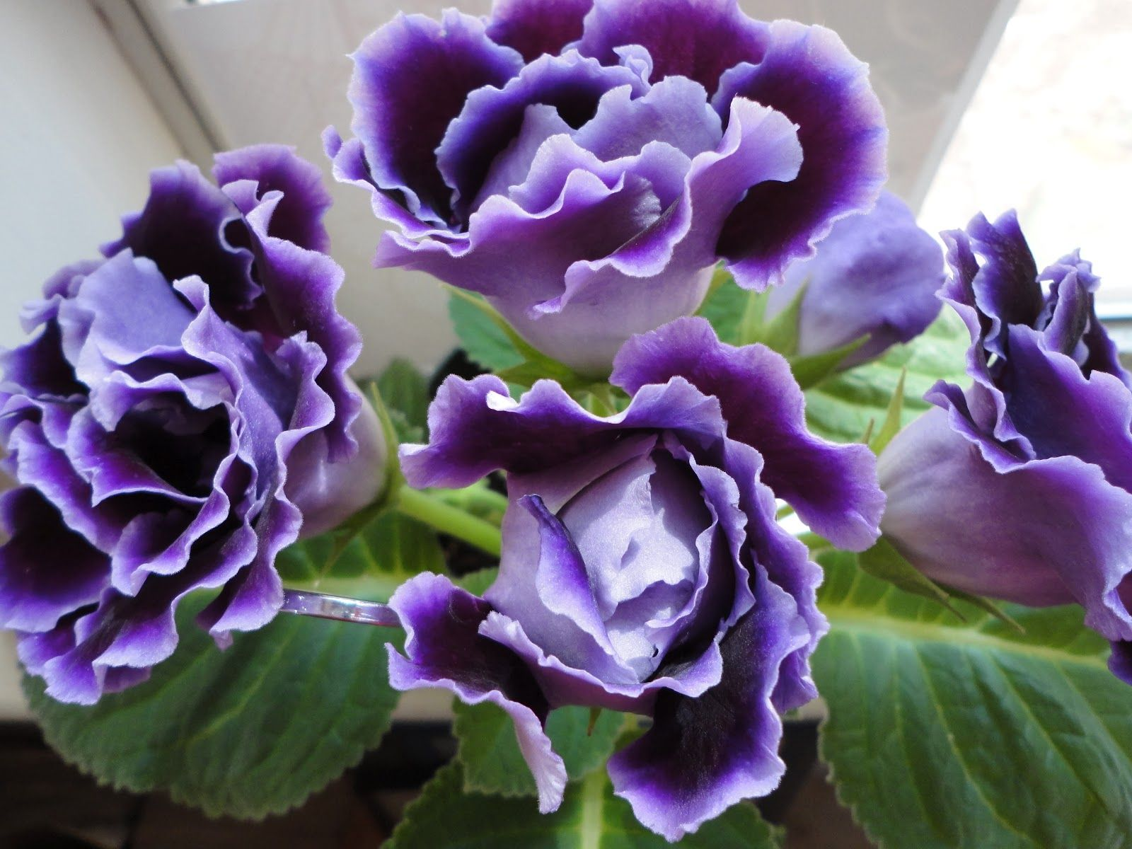 Gloxinia is related to African Violets