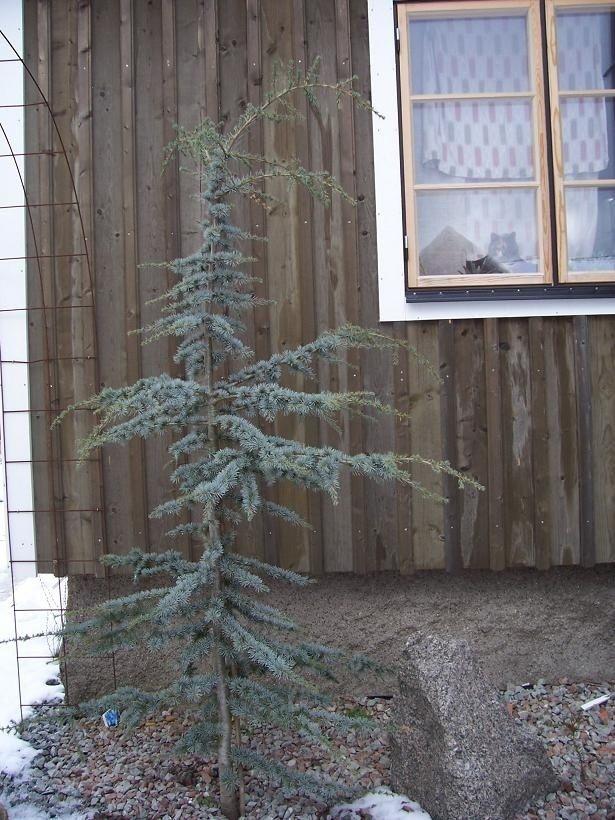 cederträd - Sök på Google