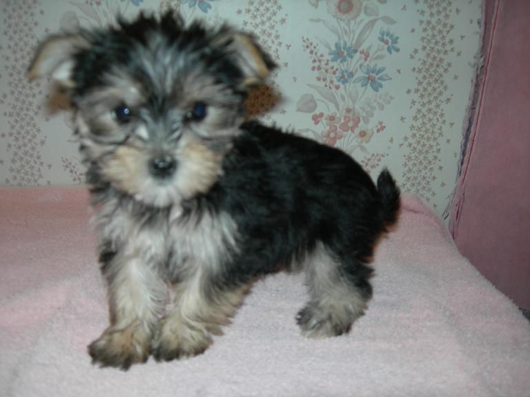 Teacup Maltipoo Rescue Morkie/Yorktese Puppies For Sale