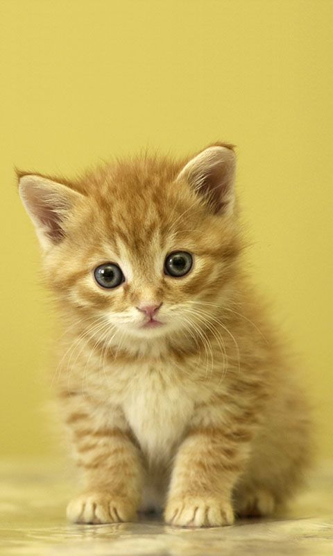 Hd Cat Mobile Phone Wallpapers With Images Baby Animals
