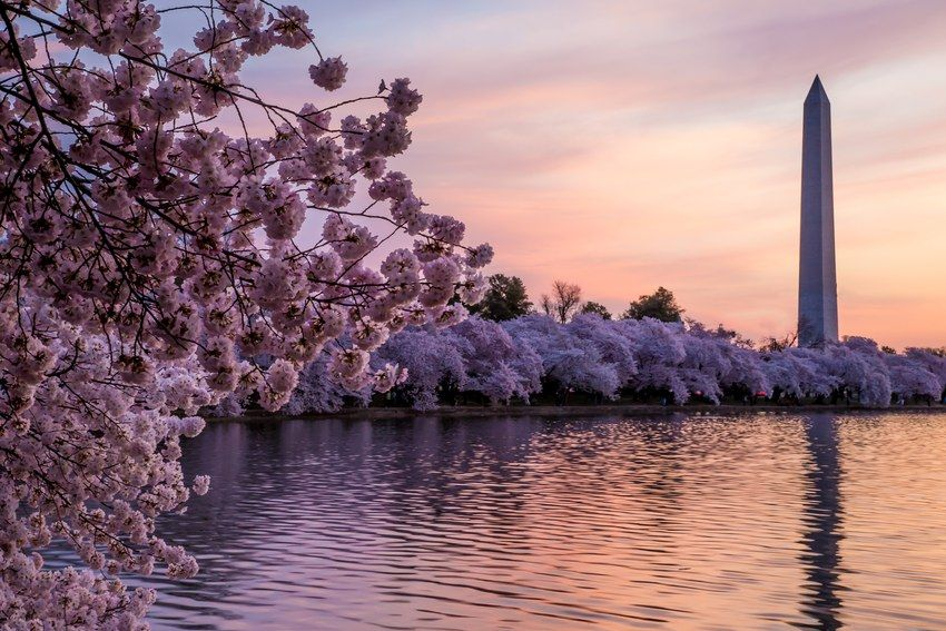Where To Go Top 4 Places In The World To See Cherry Blossoms Where To Go Cherry Blossom Dc Cherry Blossom