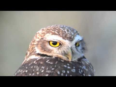 Athene cunicularia - Coruja-buraqueira - Burrowing Owl