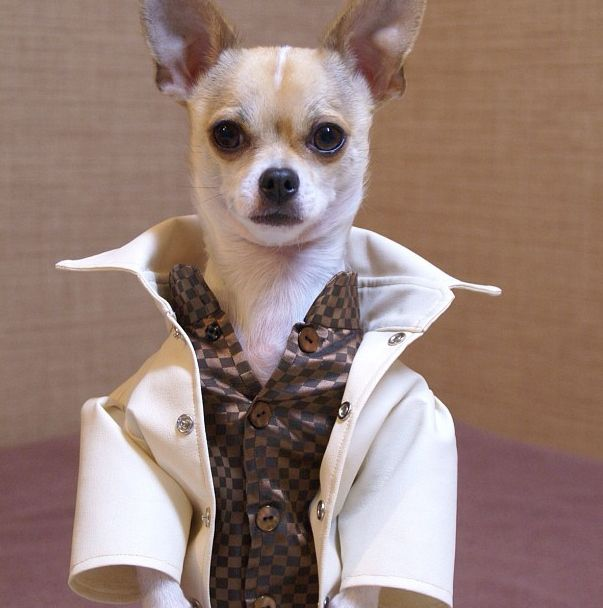 high chihuahua the show must go on you have to fit into that goddamn 956