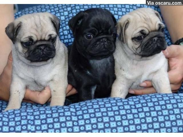 Cute And Healthy Pug Puppies Available Now With Images Pug