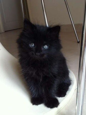 Fluffy Black Kittens With Blue Eyes 13+ Types of Fluffy Ca...