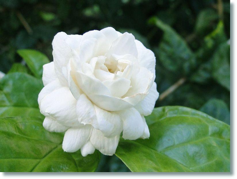 Bogari Ou Arabian Jasmine Jasminum Sambac Jasmine Flower Arabian Jasmine Flora Flowers