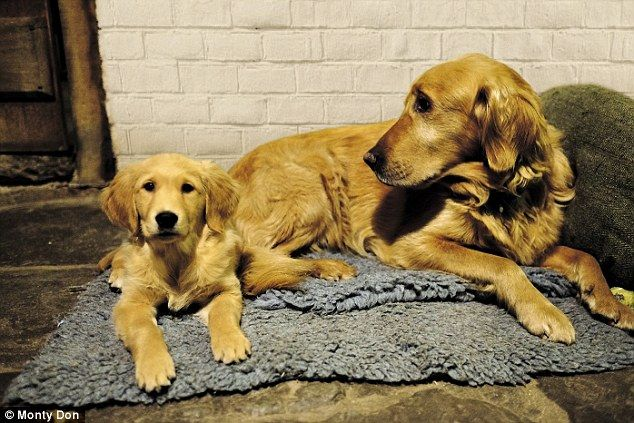 My Golden Wonders Monty Don S Dogs Have Become The Real Tv Show Stars Monty Don Golden Retriever Dog Probiotics