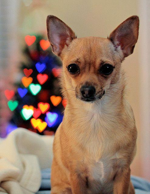 Foxy Love Chihuahua Love Christmas Dog Dog Love