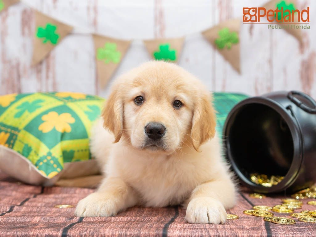 Puppies For Sale Puppies Dog Lovers Puppies For Sale