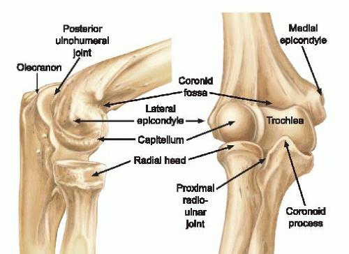 Elbow bone structure - www.anatomynote.com   Anatomy note world ...