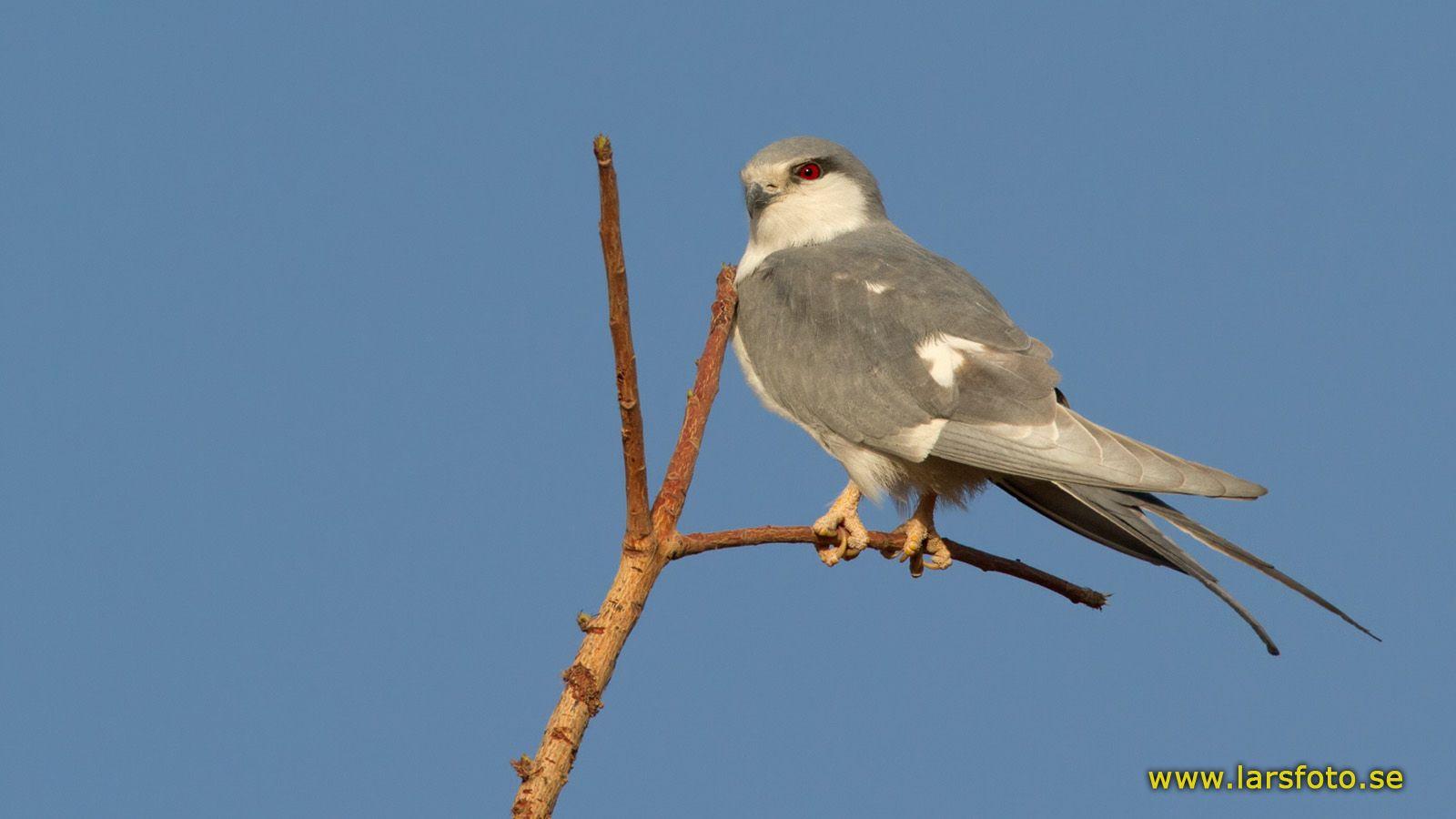 998_Scissor-tailed_Kite_Chelictinia_riocourii_Mora_Cameroon_20120310_1_1600_copy.jpg (1600×900)