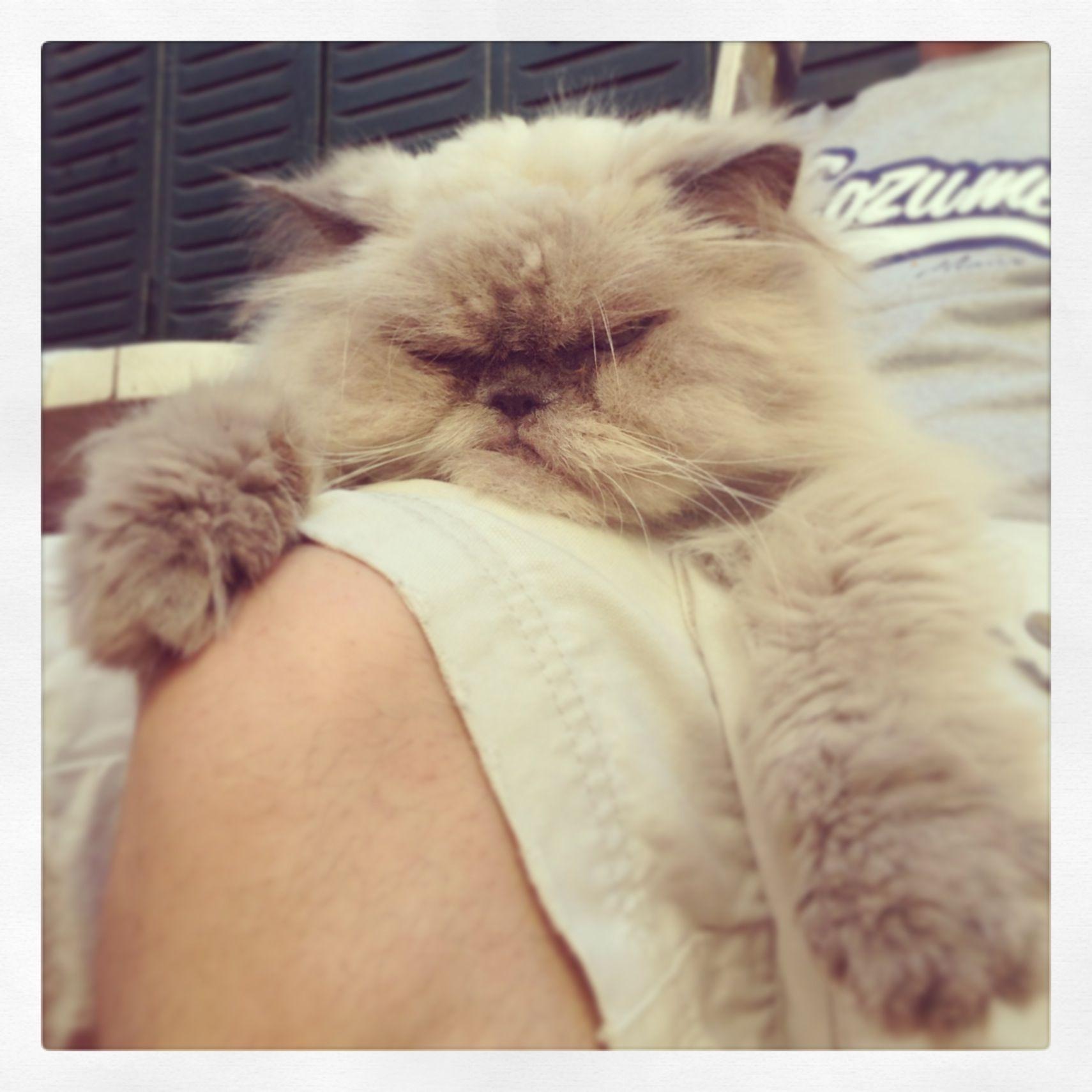 Guizmo...mi gato persa