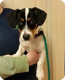 Lexy Franklin In Beagle Dachshund Mix Dachshund Mix Beagle Dog Adoption