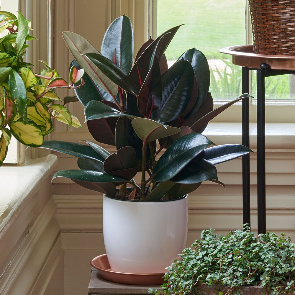 Burgundy rubber plant in ceramic cachepot plants small