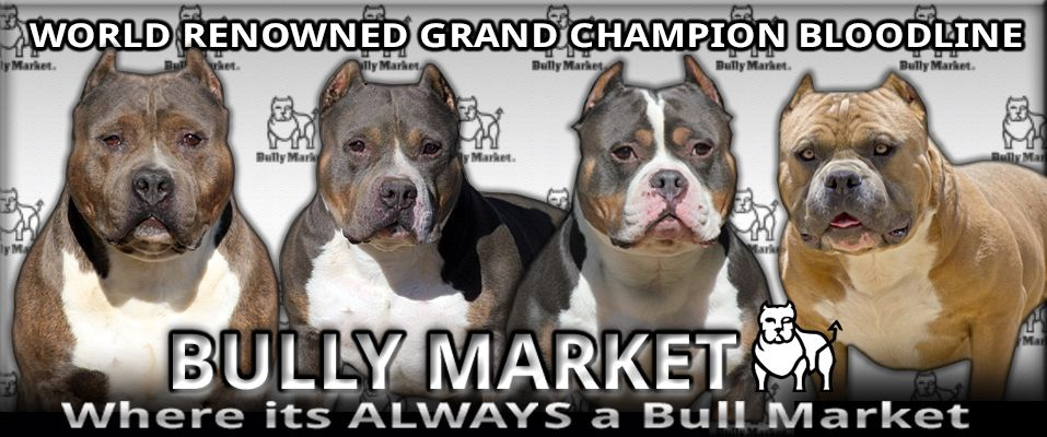 Bully Market Rare Color Show Winning American Bullies American