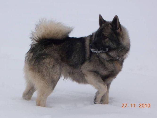 Norwegian Elkhound Puppies For Sale In Debden Saskatchewan Your