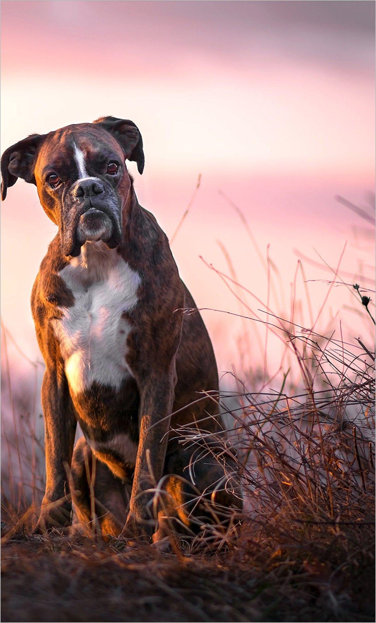Boxer Dog 4k Wallpaper Boxer Dogs Dogs Boxer