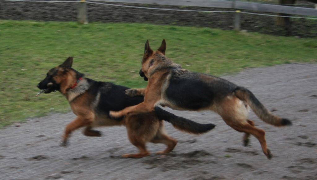 Divon Kennels Cavan Ontario Canada German Shepherd Breeders