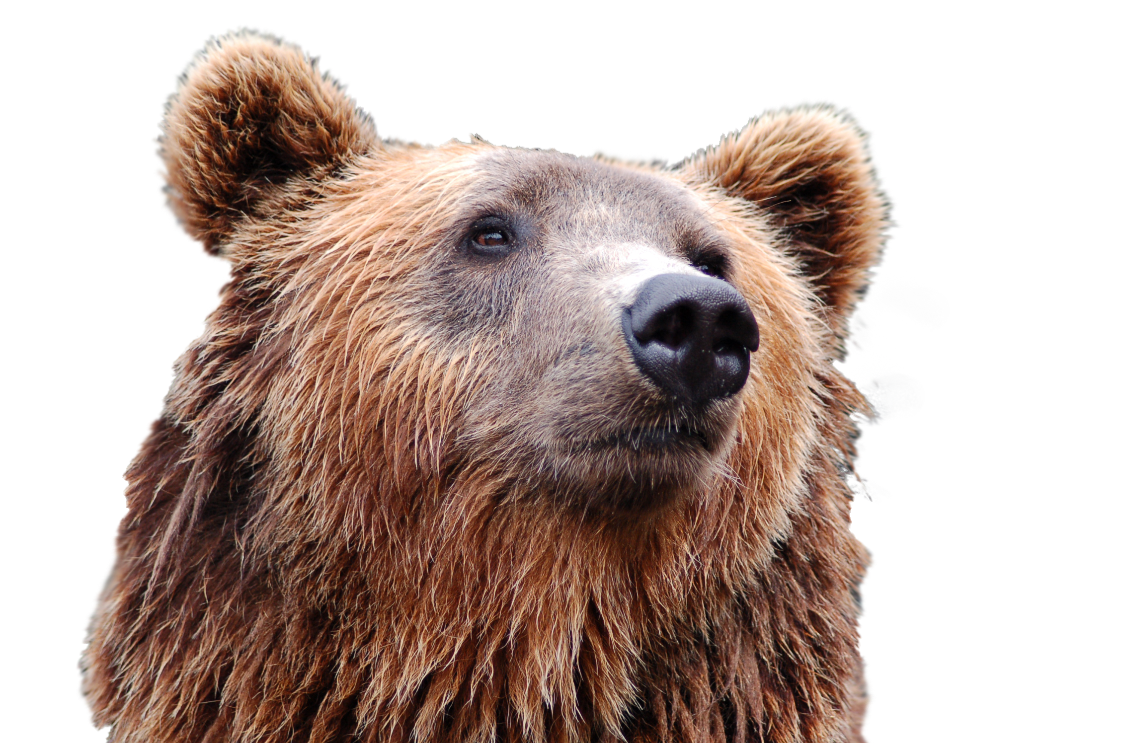 Bear Head Png Image Bear Head Bear Grizzly Bear
