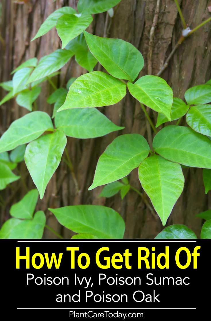 How To Get Rid Of Poison Ivy Sumac And Oak Using Natural Chemical Methods Do It Safely Disposal What Look Out For Learn More