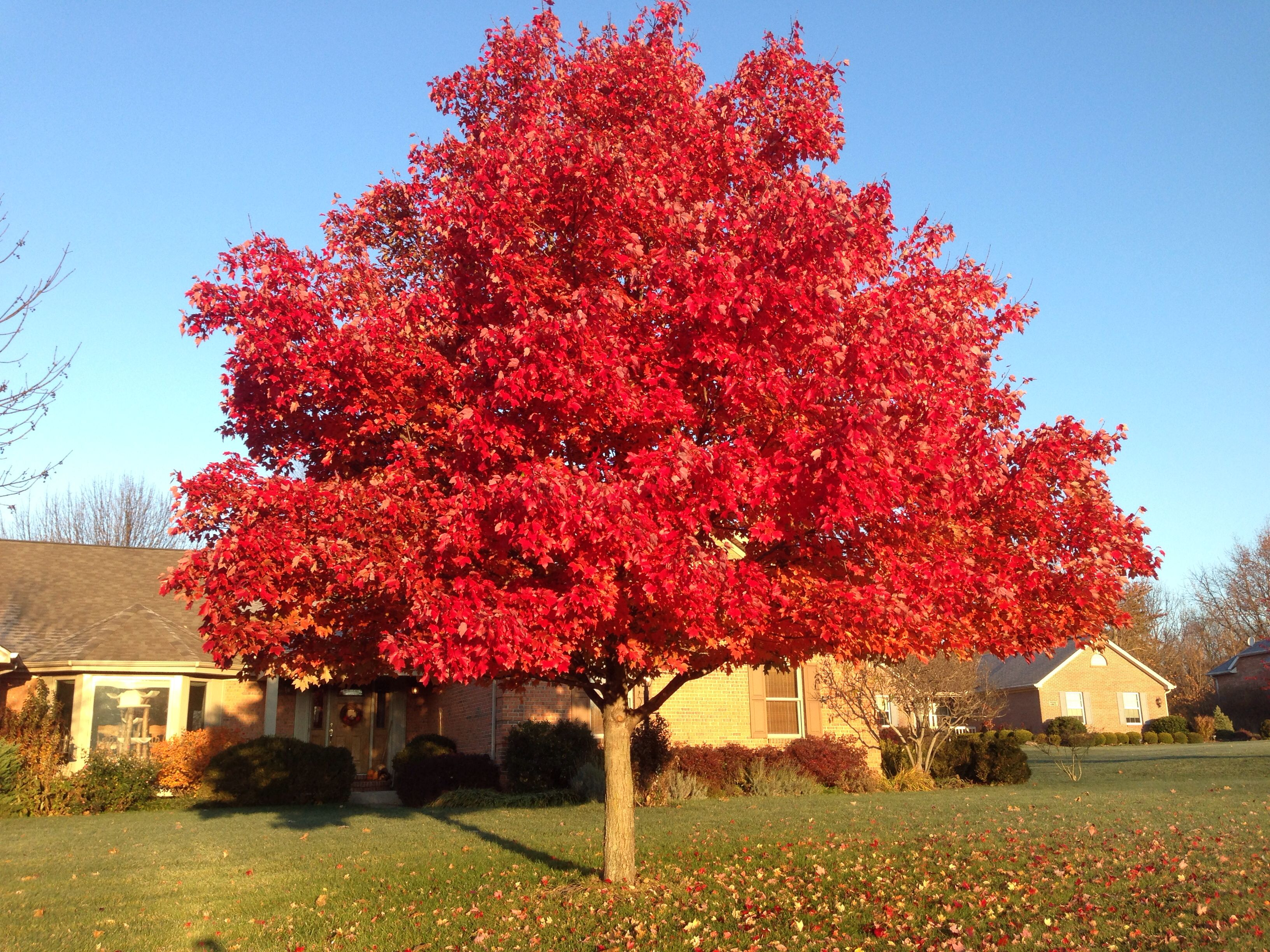 October Glory Red Maple Is Always Most Beautiful In November