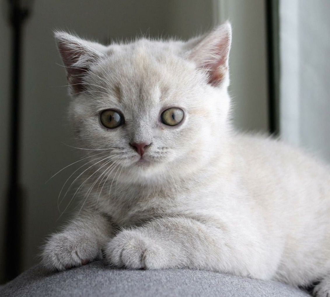 Kitty Our Lilac Tortie Girl Just 7 Weeks Now British Shorthair