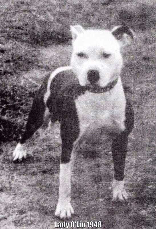 1000+ images about American Pit Bull Terrier on Pinterest ...  |American Pit Bull Terrier Vintage