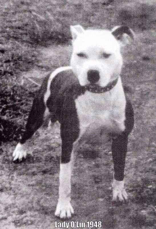 Old Tyme Staffy Pitbull Terrier Bull Terrier Dogs