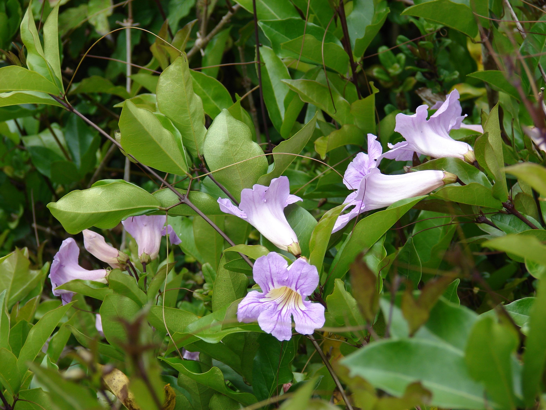 Plants Of Hawaii 090430 6982 Starr Environmental Trumpet Vine Vines Trumpet