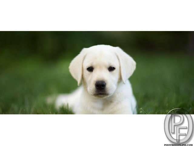 Labrador puppies available for you in Mumbai, Maharashtra